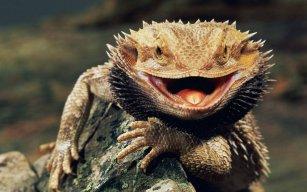 Nitro_Lizard